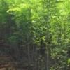 供应刺槐树山西刺槐价格刺槐种子