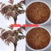 供应香椿种、香椿种子、红油6号香椿种子