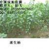 供应红叶杨、速生杨、占地红叶杨、速生杨 绿地苗圃质量保证