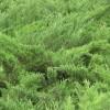 供应沙地柏 福缘绿化基地生产沙地柏