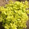 全球绿苗木基地出售金山绣线菊