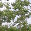 福缘绿化苗木基地出售千头椿