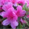 温江成军园艺场大量供应紫荆、梅花、日香桂等