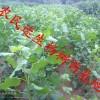 北京杨树苗价格行情,北京杨树苗供应商,北京杨树苗种植技术