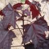 供应红国王挪威槭,国王枫