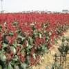 供应红叶石楠,红叶石楠球,椤木石楠价格表