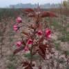 供应红叶樱花等彩叶树扦插苗,嫁接苗