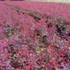 供应金叶女贞,红叶小檗,金森女贞,珊瑚,法国冬青价格表
