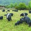 供应环宇藏香猪肉