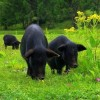 长期大量供应藏香猪生鲜肉、肉制品