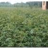 供应花椒苗、山西最大花椒苗种植基地