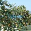 供应安溪新品种油茶 泉州油茶树苗 泉州安溪高产油茶新品种