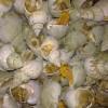 供应加拿大翡翠螺