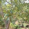 低价供应胸径1-15的山桃树 山杏树 核桃树 山楂树