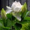 供应传统名花,大花栀子花,素白清秀,清香一绝