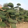 供应景观花木价格表连翘,瓜子黄杨,金丝桃,铅笔柏,吊金钟,木槿