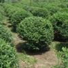 供应地被植物龟甲冬青球价格、狭叶十大功劳价格、小叶女贞球价格表