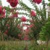 供应工程苗木红叶石楠球价格、杜梨价格、贴梗海棠价格、皂角价格表