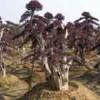 供应行道树报价丹桂价格、紫叶李价格、造型女贞树价格、罗汉松价格表