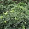 供应绿篱花木阔叶十大功劳价格、红瑞木价格、连翘价格、常青藤价格表