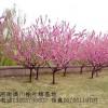 供应色块花木迎春价格、绿萼梅价格、金丝桃价格、金钟花价格表