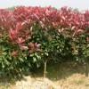 供应造型苗木蔷微价格、冬青球价格、木瓜海棠价格、梨花海棠价格表