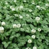供应景观苗木报价表贴梗海棠,丰花月季,四季海棠,马尼拉草坪