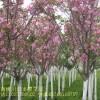 供应绿化工程报价表芭蕉,蜀桧,鸭跖草,马尾松,马齿苋,日本樱花