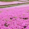供应景观工程造价表金盏菊,早园竹,太阳花,花柏球,矮牵牛,荷兰菊