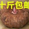 供应新鲜花魔芋种子,全国免运费,成活率极高