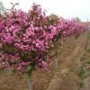 供应景观工程造价香椿,木绣球,白榆,百日红,榔榆,晚樱,紫叶李
