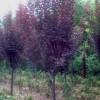 供应工程苗木售价寿星桃,月月桂,垂榆,刚竹,棕榈,梅花,蜡梅,绿梅