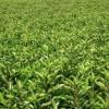 供应绿化苗木价格红继木球,黄山栾树,红叶石楠球,大叶女贞,连翘