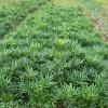 园林绿化报价小叶黄杨球,阔叶十大功劳,豆瓣黄杨球,马尼拉草坪