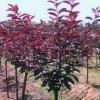 供应红叶李,紫叶矮樱,冬青,黄杨,女贞,白皮松