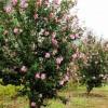 供应八角金盘,花石榴,丰花月季,国槐,地被月季,木槿,茶花,紫竹
