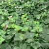 供应园林绿化工程小叶栀子价格、红宝石海棠价格、白三叶草坪价格表