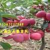 供应矮化短枝苹果苗烟富3烟富6苹果苗